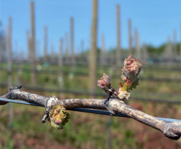 © Advanced Vineyard Systems Buds on the Vine